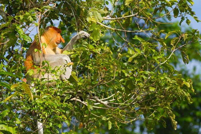 proboscis-monkey01