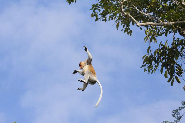 proboscis-monkey02