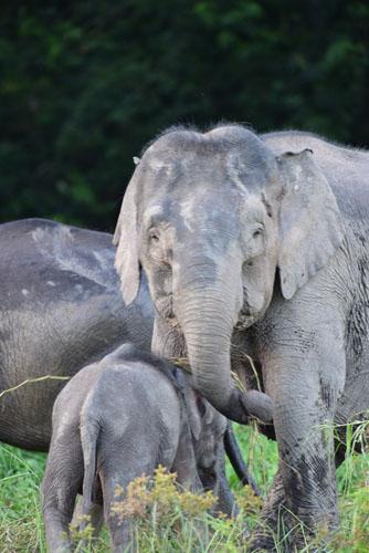 pygmy-elephant